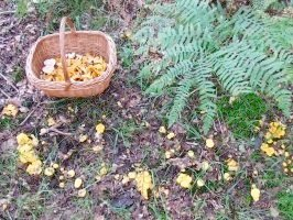 Chanterelle, also known as girolle